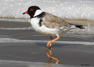 hooded_plover-image